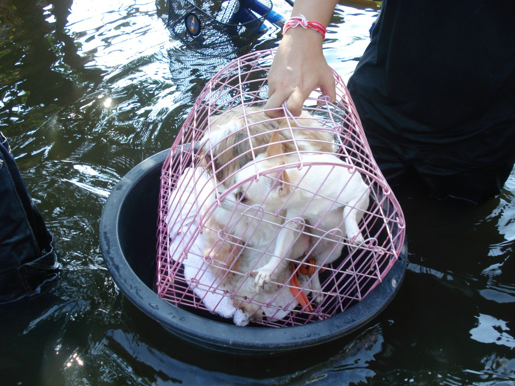 Dogs Being Rescued During Thailand Floods