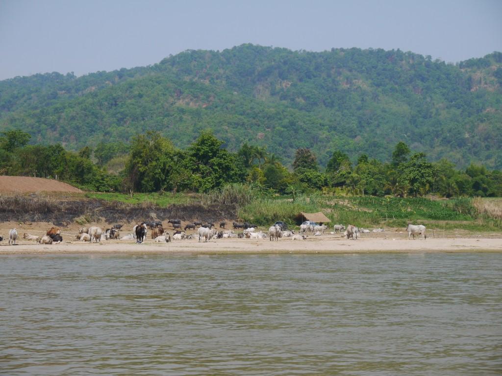 Buffalo & Cows At Mekong River