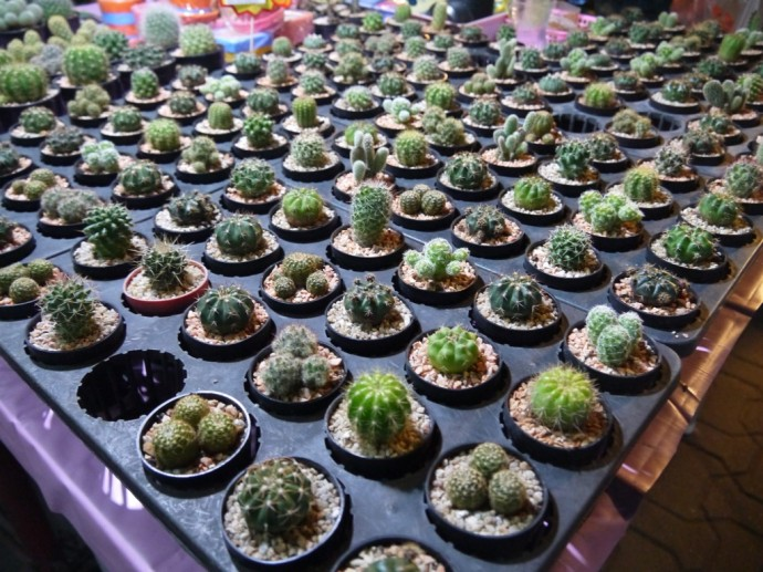 Cacti At Sunday Night Walking Street Market, Chiang Mai