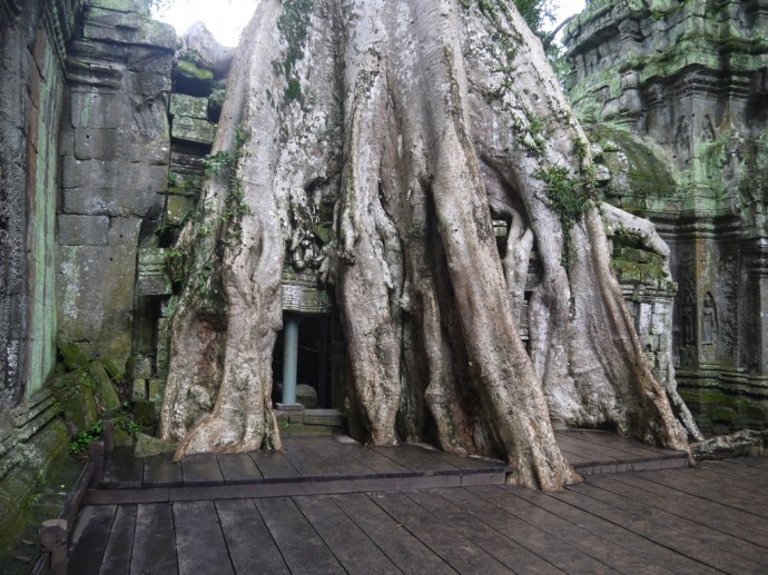 One Of The Largest Trees At Ta Prohm