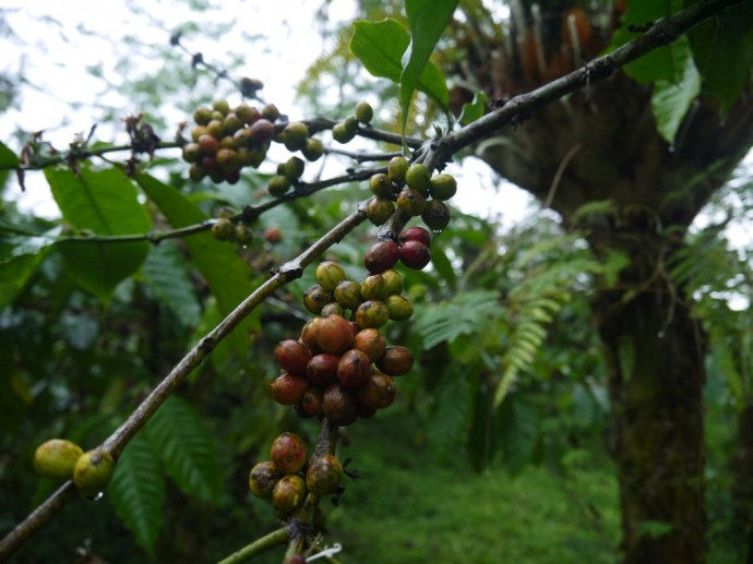 Robusta Coffee Beans At Ijen Volcano