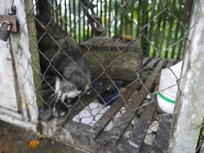 A Caged Civet