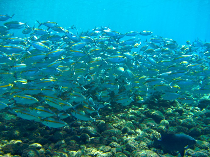 A School Of Mackerel Fish In Tulamben, Bali