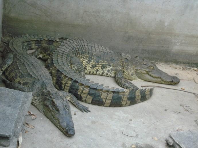 Crocodiles As Pets, Thailand