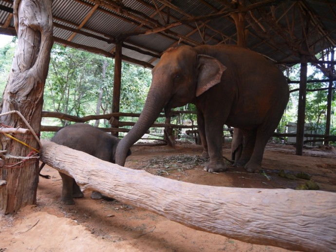 Mother And Baby Elephant At Ban Ta Klang Elephant Village