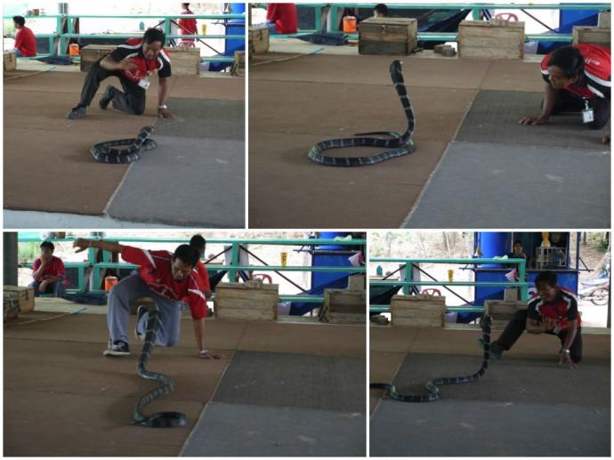 Snake Show At King Cobra Village, Northeast Thailand
