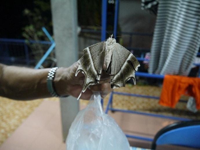 Giant Moth, Thailand