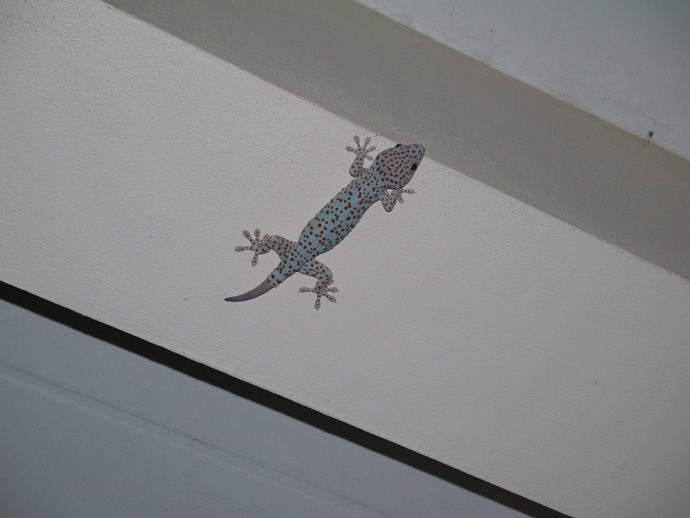 Red Spotted Tokay Gecko, Thailand