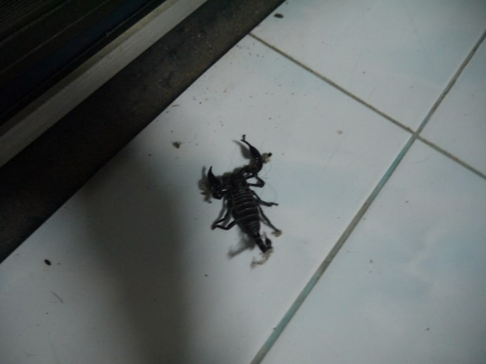 Scorpion Inside House In Thailand