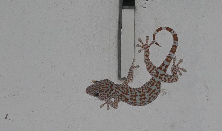 Tokay Gecko, Surin, Thailand