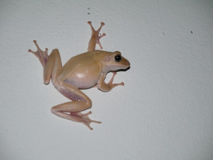 Thai Tree Frog