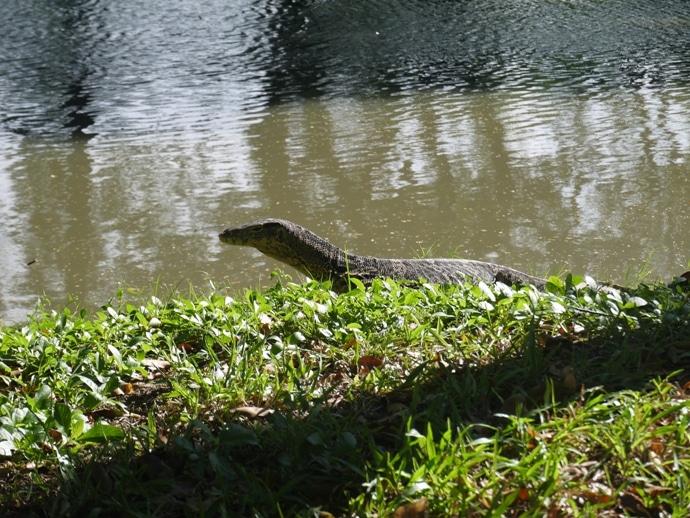 Giant Monitor Lizard At Lumphini Park, Bangkok