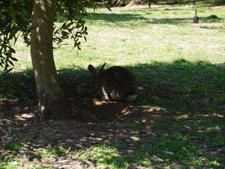 A Hare Among The Olive Grove, Lokrum Island