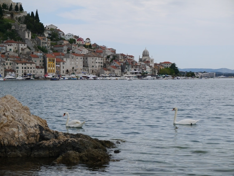 Swans Swimming At Banj Beach, Sibenik, Croatia