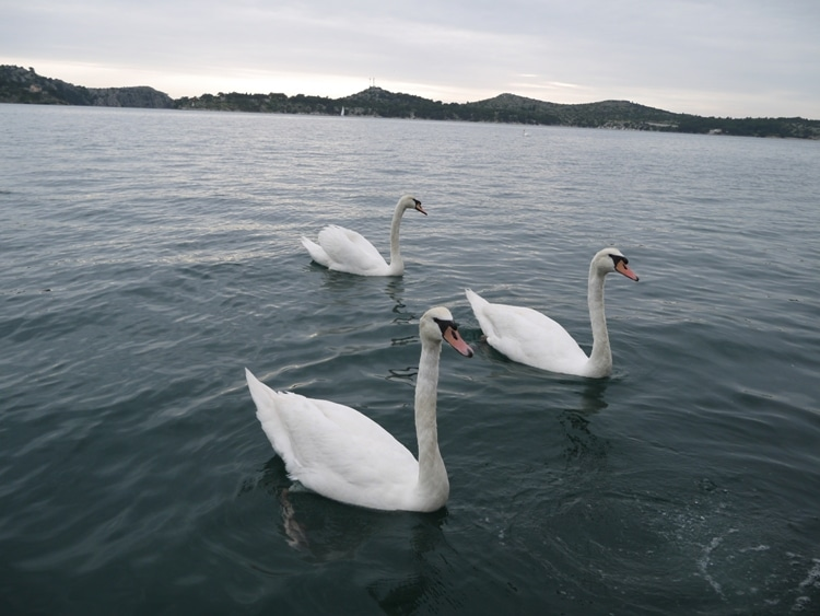 Swans Swimming At Sibenik, Croatia