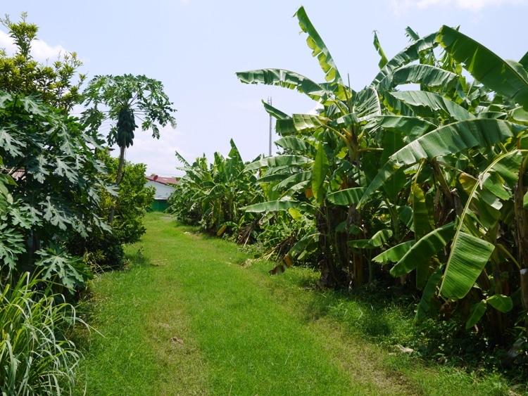 Banana Trees On The Right, Papaya Trees On The Left