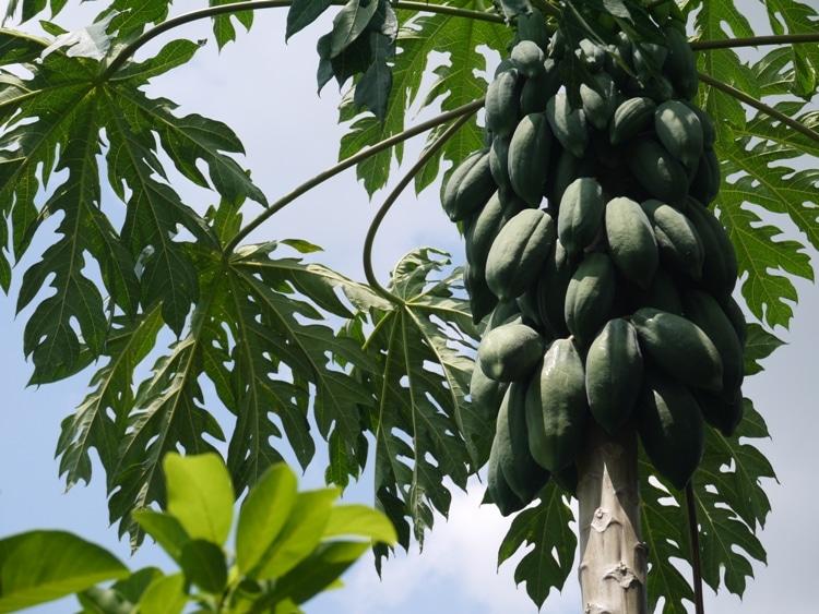 A Beautiful Bunch Of Papayas