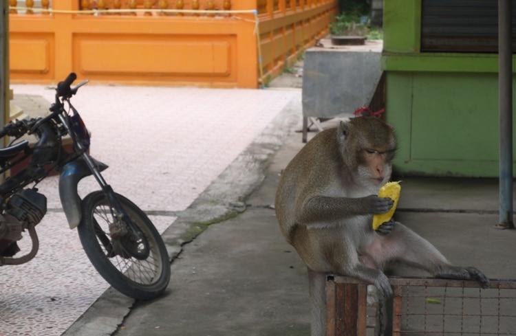 Monkey Eating Mango At Wat Kai, Ayutthaya