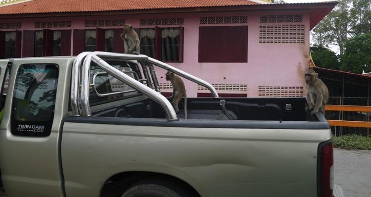 Monkeys Climbing Over A Truck At Wat Kai, Ayutthaya