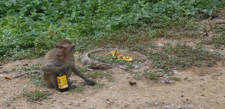 Monkey With Bottle Of Energy Drink At Wat Kai, Ayutthaya