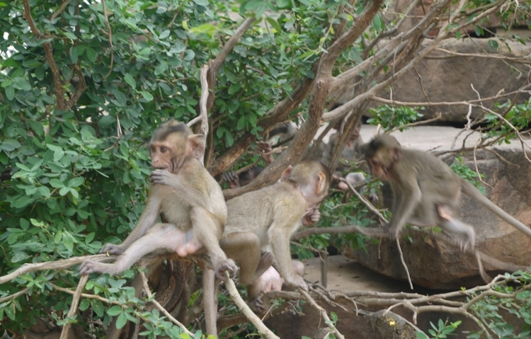 Young Monkeys Having Fun At Wat Kai, Ayutthaya